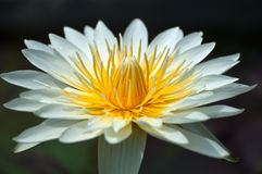 White lotus Royalty Free Stock Photo