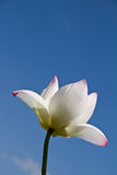White lotus Stock Images