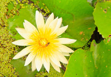 White lotus. From Thailand and Bee stock images