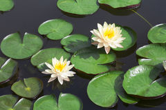 White lotus Stock Photography