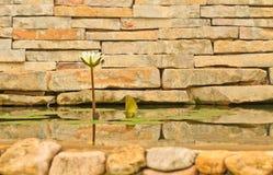White lotus. A white lotus on brick wall in pool stock photography
