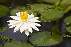 White lotus. In shallow focus Stock Photos