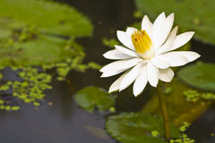 White lotus. In shallow focus Stock Image