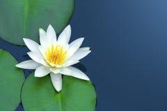 White Lotus. Stock Photos