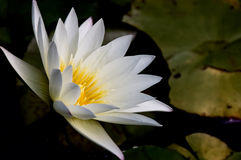 White Lotus Royalty Free Stock Images