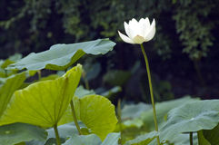 White lotus. Isolated white lotus on the early morning.Xian,China Royalty Free Stock Image