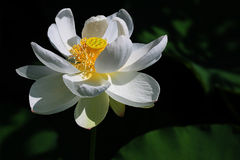 The white lotus. Is blooming with yellow stames and lotus pod Royalty Free Stock Photos