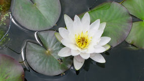 White lotus. A White bloomed lotus in a lake royalty free stock image