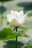 White lotus. In full bloom royalty free stock photos