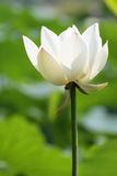 White lotus. Isolated on green background royalty free stock images