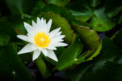 White lotus. A beautiful white lotus with green leave in the pond, selective focus and vignette effect Royalty Free Stock Photo