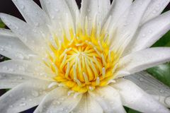 White lotus. Beautiful white single lotus Stock Photo