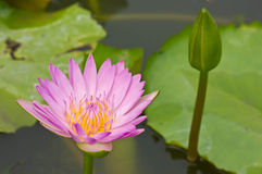 Lotus. A White lotus with bee Stock Images
