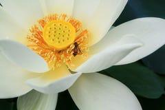 White lotus with bee. Around yellow flower Stock Photos
