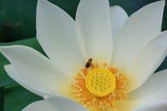 White lotus with bee. Around yellow flower Stock Photo
