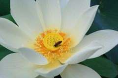 White lotus with bee. Around yellow flower Royalty Free Stock Image