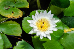A white Lotus with a bee inside sipping nectar Royalty Free Stock Photos