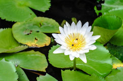 A white Lotus with a bee inside sipping nectar. And sunlight Royalty Free Stock Photo