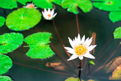 White lotus. And bee in the lake Stock Photo