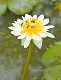 White  lotus with bee Stock Images