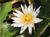 White lotus, bee. White lotus in pond, bee Royalty Free Stock Images