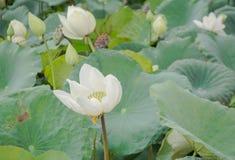 White lotus. Big white lotus in pond after rain Royalty Free Stock Photos