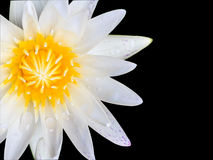 White lotus on  black background. Royalty Free Stock Photo
