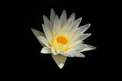 White Lotus on black Royalty Free Stock Photos