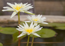 The white lotus bloom Royalty Free Stock Image