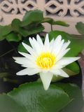 White lotus. Bloom Stock Photo