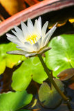 White lotus. Bloom in basin Stock Photos