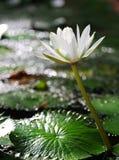 White lotus. Bloom in bokeh background Stock Image