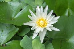Photo of white lotus blooming. White Lotus Bloom in the morning very beautiful so much stock images