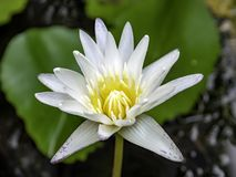 The white lotus bloomed in the pool royalty free stock photo