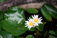 White lotus. These lotus blooming in the garden Royalty Free Stock Photography