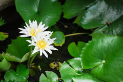 White lotus. These lotus blooming in the garden Stock Image