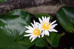 White lotus. These lotus blooming in the garden Royalty Free Stock Image
