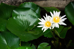 White lotus. These lotus blooming in the garden Stock Photo