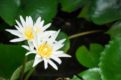 White lotus. These lotus blooming in the garden Stock Photos