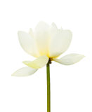 White lotus blooming isolated white Royalty Free Stock Photography