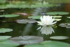 White Lotus blooming in pool. stock image