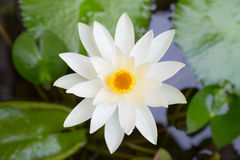 White Lotus blooming. On the river Royalty Free Stock Photo