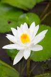 White Lotus blooming. On the river Stock Image