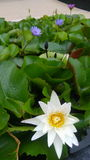 White Lotus. Blossom in a big vase Stock Photography
