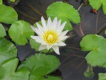 White Lotus Royalty Free Stock Photography