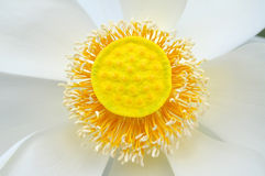 White lotus blossom flower from Thailand Royalty Free Stock Photos