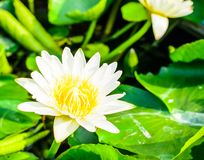 White lotus blossom in the pond Stock Image