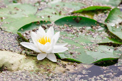 White  lotus blossom  in a   pond Stock Photos