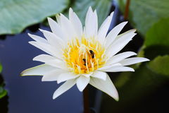 White lotus blossom Stock Image