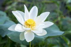 White lotus blossoming in the pond stock photo